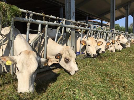 Confagricoltura e Coldiretti chiedono alla Regione un piano straordinario per sostenere gli allevamenti bovini