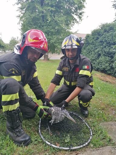 Airone si incastra in una recinzione, liberato dai Vigili del fuoco di Pinerolo