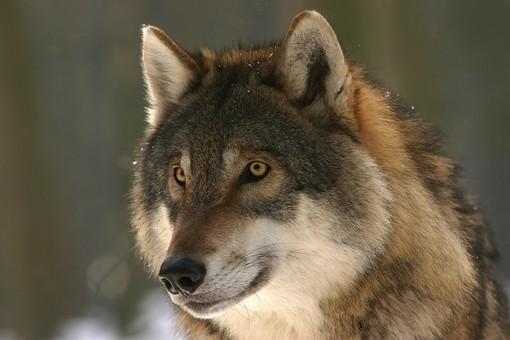 Gregge incustodito aggredito dai lupi ad Usseaux