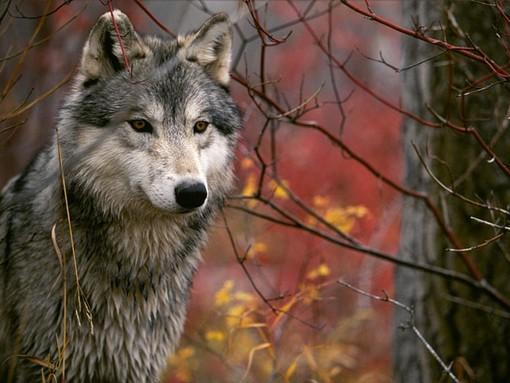 """Caccia, Legambiente Piemonte scende in campo al fianco del lupo: """"Soluzione di pancia e dannosa"""""""