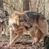 """Coldiretti lancia l'allarme lupi: """"Con numeri fuori controllo a rischio l'equilibrio ecologico"""""""